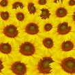 The beautiful Yellow sunflowers — Stock Photo