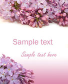 Lilac flowers on white background — Stock Photo