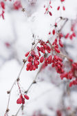 Red berries on a snow branch — Stock Photo