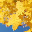 Autumn leaves and the blue sky - Stock Photo