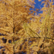 Autumn larch and blue sky — Stock Photo #2555839