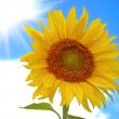 Sunflower against the blue sky - Stock Photo