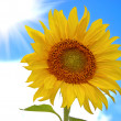 Stock Photo: Sunflower against the blue sky