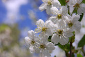 Bloom cherry grow spring white — Stock Photo