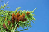 Branch with large fir cones against — Stock Photo