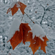 A maple leaf covered with snow — Stock Photo