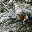 Pine tree branch with a cone - Stockfoto