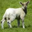 Lamb — Stock Photo #2181984
