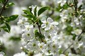 Cherry flowering — Stock Photo
