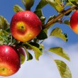 Stock Photo: Shiny apples in an apple orchard