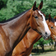 Two young thoroughbred horses — Stock Photo