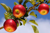 Shiny apples in an apple orchard — Stockfoto