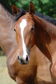 Young thoroughbred horse — Stock Photo