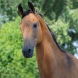 Portrait of bay horse — Stock Photo #1312755