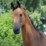 Portrait of bay horse — Stock Photo