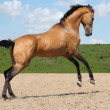 Stock Photo: Akhalteke stallion