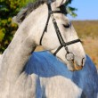 Portrait of gray horse — Stock Photo #1319767