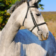 Portrait of gray horse — Stock Photo
