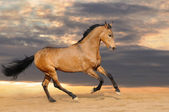Galloping bay horse — Stock Photo