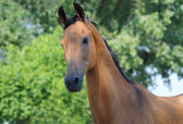 Portrait of bay horse — Stock Photo