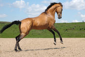 Akhalteke stallion — Stock Photo