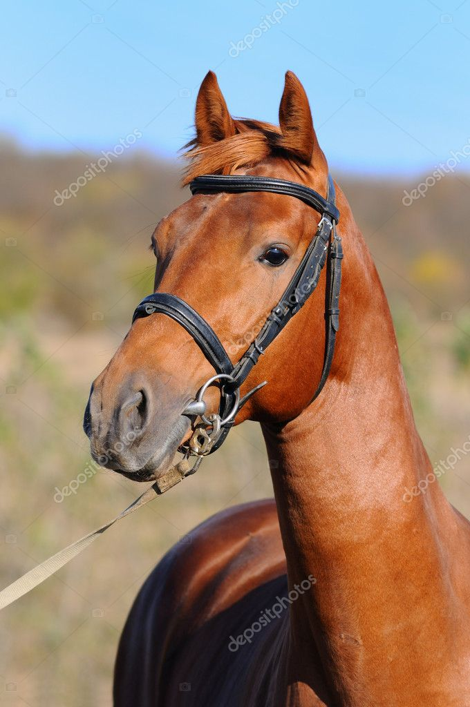 Portrait of beautiful sorrel horse — Stock Photo #1319039