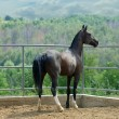 Raven horse in paddock — Stock Photo