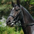 Portrait of raven dressage horse — Stock Photo #1330348