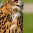 Stock Photo: EurasiEagle Owl (Bubo maximus)
