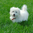 White Maltese terrier on green grass — Stock Photo #1330500