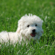 White Maltese terrier on green grass — Stock Photo
