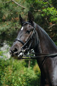 Portrait of raven dressage horse — Stock Photo