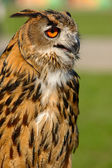 Eurasian Eagle Owl (Bubo maximus) — Stock Photo