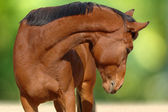 Portrait of young bay horse — Stock Photo