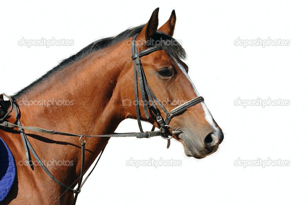 Portrait of bay horse isolated — Stock Photo #1609861