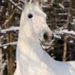 Portrait of white horse in winter forest — Stock Photo #2052441