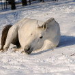 White horse is rolling in snow — Stock Photo