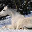 White horse is rolling in snow - Stock Photo