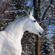 Portrait of white horse in winter forest - Stock Photo