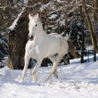White horse is running in forest - Stock Photo