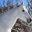 Portrait of white horse in winter forest — Stock Photo #2052896