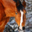 Portrait of bay horse in winter forest - Stock Photo