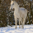 White horse in winter forest - Stock Photo