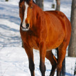 Bay horse in winter forest - Stock Photo