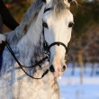 Portrait of white dressage horse - Stock Photo