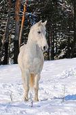 White horse in winter forest — Stok fotoğraf
