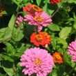 Beautiful  flowers Zinnia - Stock Photo