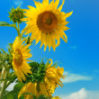 Beautiful sunflower in the field - Stock Photo