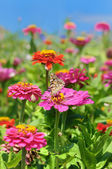 Beautiful flowers Zinnia — Stock Photo