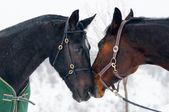 Two horses in winter — Stock Photo